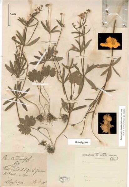 Ranunculus fraelensis Dunkel