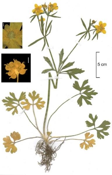 Ranunculus mediogracilis Dunkel
