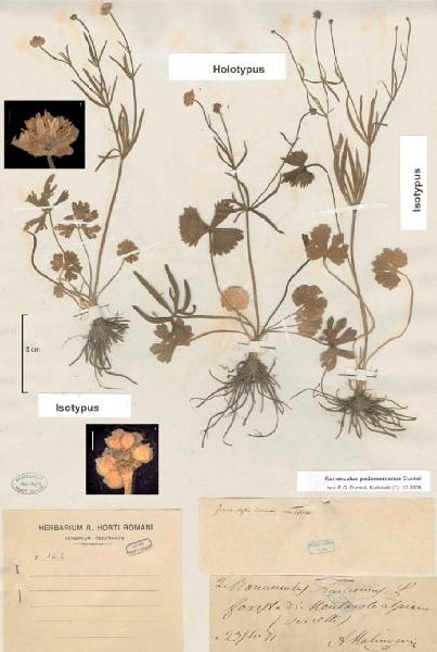 Ranunculus pedemontanus Dunkel
