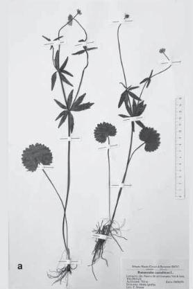Ranunculus allemannii Braun-Blanq.