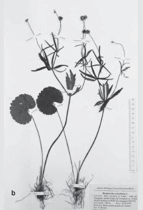 Ranunculus braun-blanquetii Pignatti