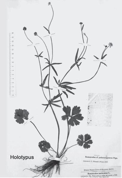 Ranunculus prosseri Dunkel