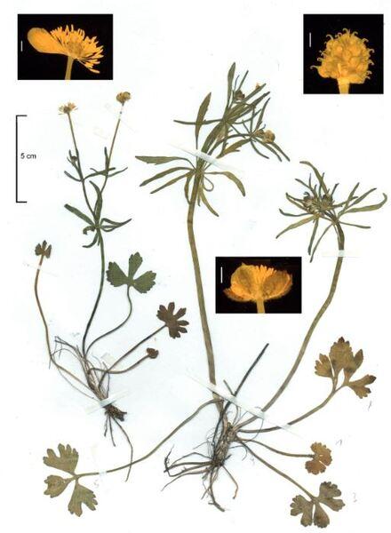Ranunculus silanus Pignatti