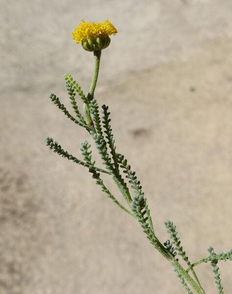 Santolina insularis (Gennari ex Fiori) Arrigoni