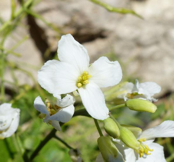 Brassica insularis Moris