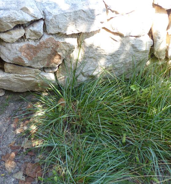 Sesleria insularis Sommier subsp. insularis