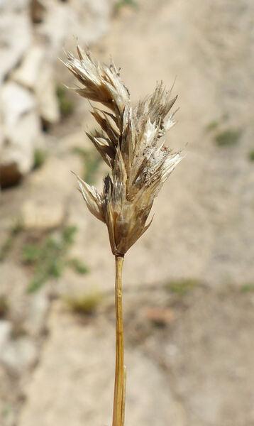 Sesleria insularis Sommier subsp. barbaricina Arrigoni