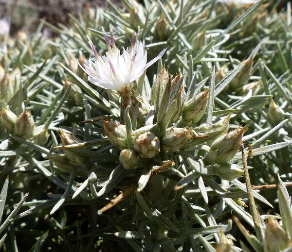 Centaurea horrida Badarò