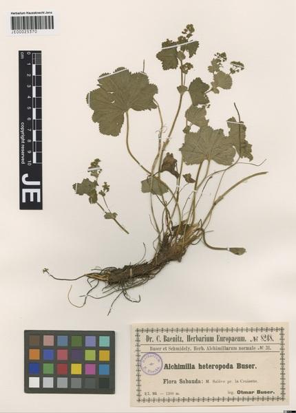 Alchemilla heteropoda Buser