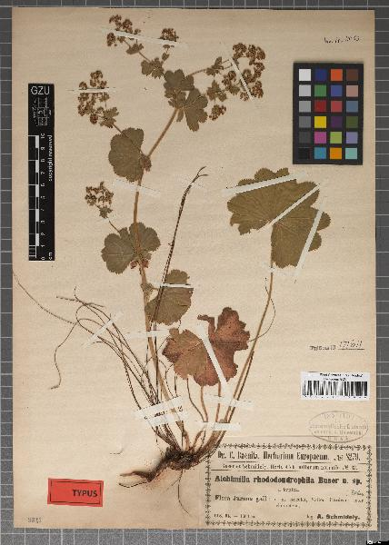 Alchemilla rhododendrophila Buser