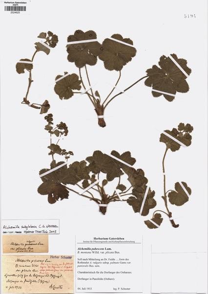 Alchemilla subglobosa C.G.Westerl.