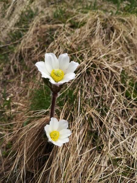 Pulsatilla alpina (L.) Delarbre subsp. millefoliata (Bertol.) D.M.Moser