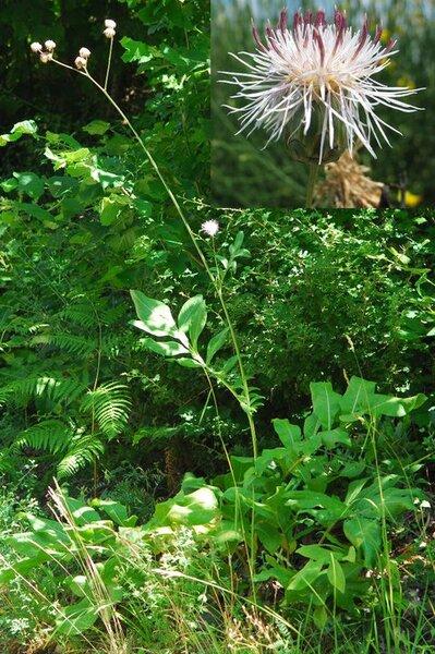 Rhaponticoides centaurium (L.) M.V.Agab. & Greuter