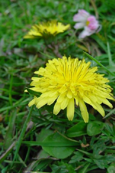 Taraxacum calabricum Aquaro, Caparelli & Peruzzi