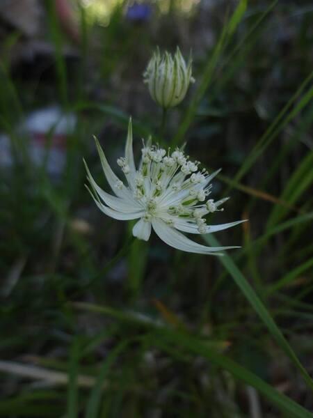 Astrantia pauciflora Bertol. subsp. pauciflora