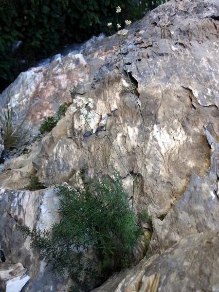 Carum appuanum (Viv.) Grande subsp. appuanum