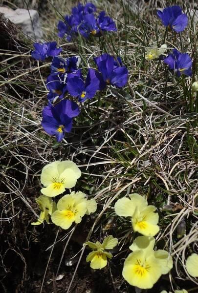 Viola eugeniae Parl. subsp. eugeniae