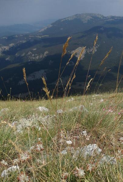 Festuca bosniaca Kumm. & Sendtn. subsp. bosniaca