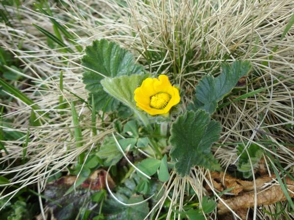 Geum montanum L.