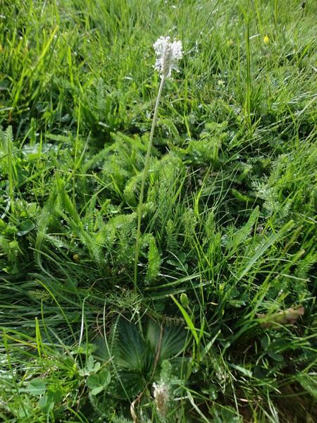 Plantago media L. subsp. brutia (Ten.) Arcang.
