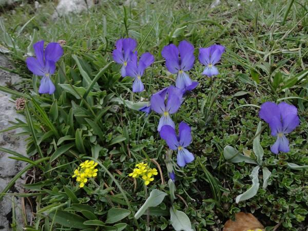 Viola aethnensis (Ging. & DC.) Strobl subsp. splendida (W.Becker) Merxm. & Lippert