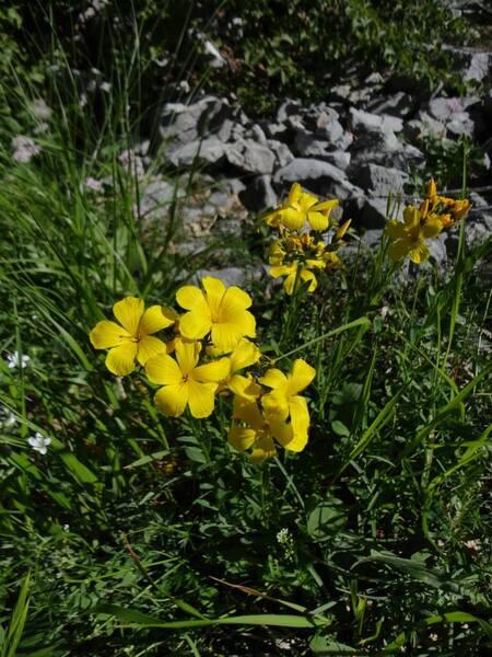 Linum capitatum Kit. ex Schult. subsp. serrulatum (Bertol.) Hartvig