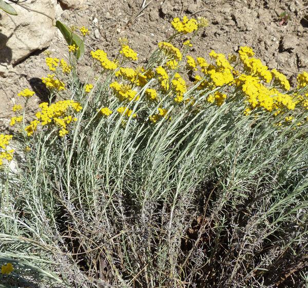 Helichrysum italicum (Roth) G.Don subsp. pseudolitoreum (Fiori) Bacch., Brullo & Mossa