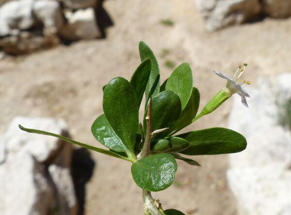 Lycium europaeum L.