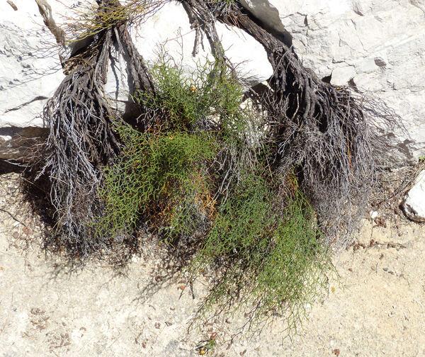 Limonium merxmuelleri Erben subsp. tigulianum (Arrigoni & Diana) Arrigoni