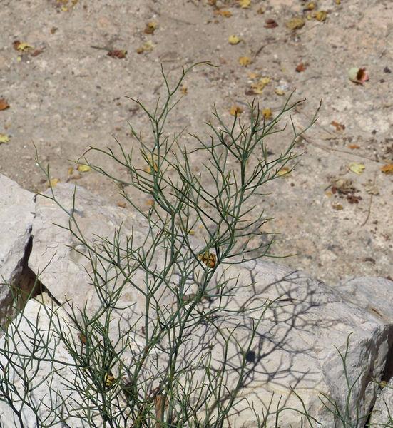 Limonium merxmuelleri Erben subsp. sulcitanum (Arrigoni) Arrigoni