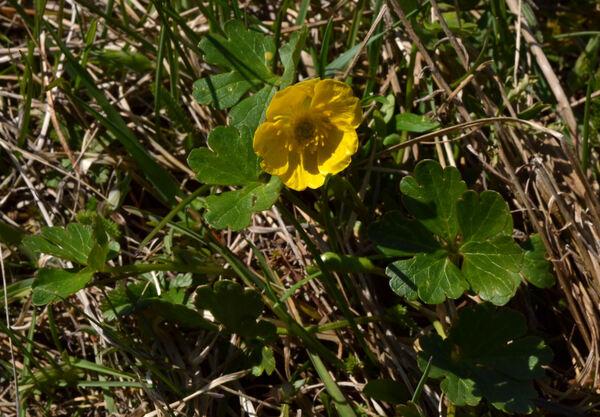 Ranunculus bariscianus Dunkel