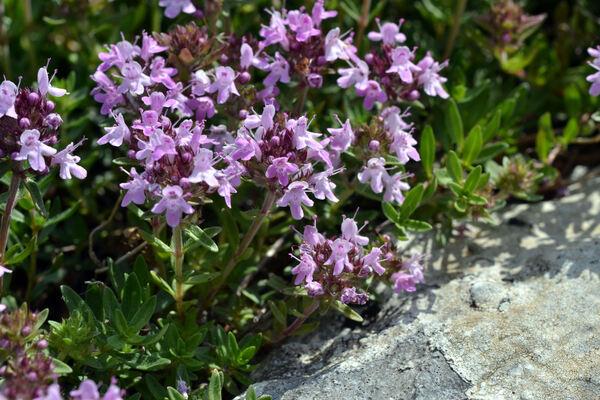 Thymus moesiacus Velen.