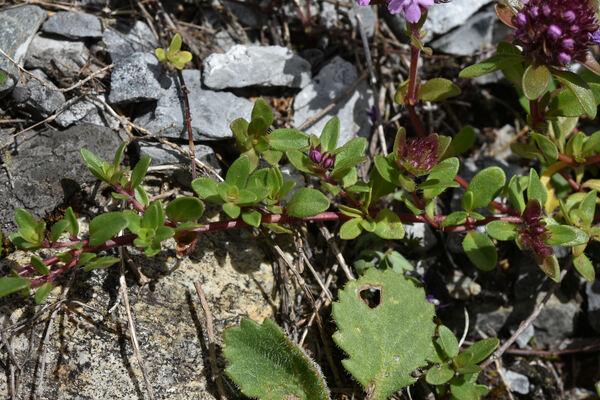 Thymus vallicola (Heinr.Braun) Ronniger