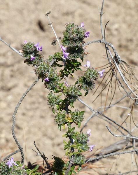 Satureja thymbra L.