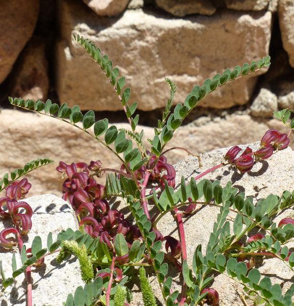 Astragalus maritimus Moris