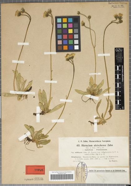 Pilosella aletschensis (Zahn) Soják