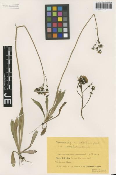Pilosella frigidaria (Nägeli & Peter) Soják