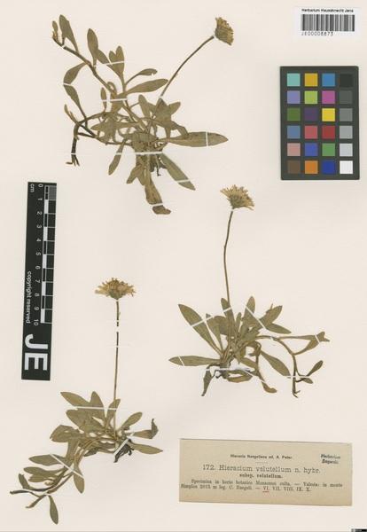 Pilosella glaciella (Nägeli & Peter) Soják