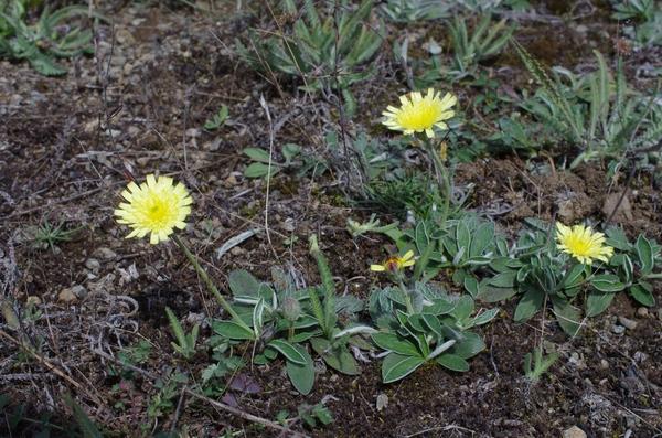 Pilosella hoppeana (Schult.) F.W.Schultz & Sch.Bip. subsp. hoppeana