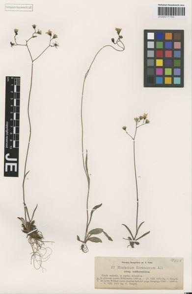 Pilosella piloselloides (Vill.) Soják subsp. piloselloides