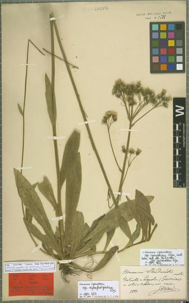 Pilosella cymosa (L.) F.W.Schultz & Sch.Bip. subsp. vaillantii (Tausch) S.Bräut. & Greuter
