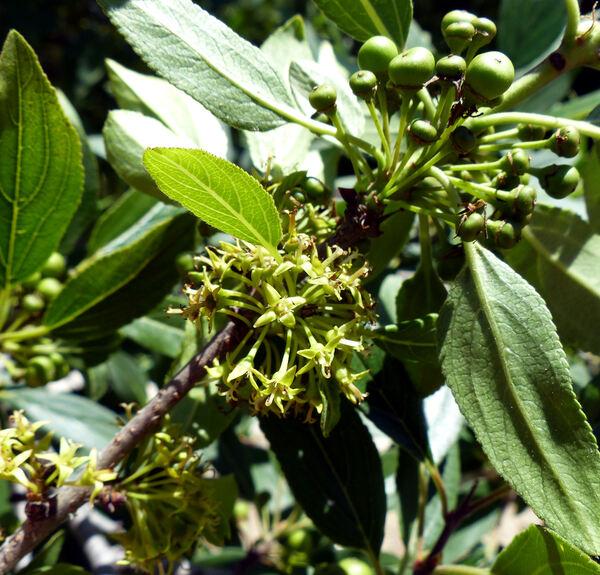 Rhamnus persicifolia Moris