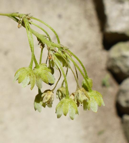 Kiggelaria africana L.