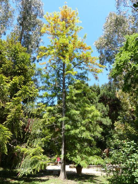 Grevillea robusta A.Cunn. ex R.Br.