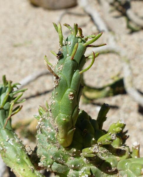 Euphorbia caput-medusae L.