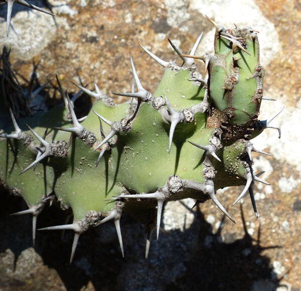 Euphorbia caerulescens Haw.