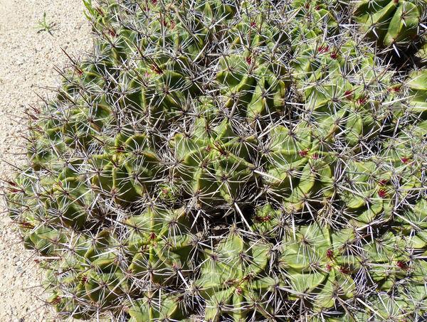 Ferocactus robustus Britton & Rose