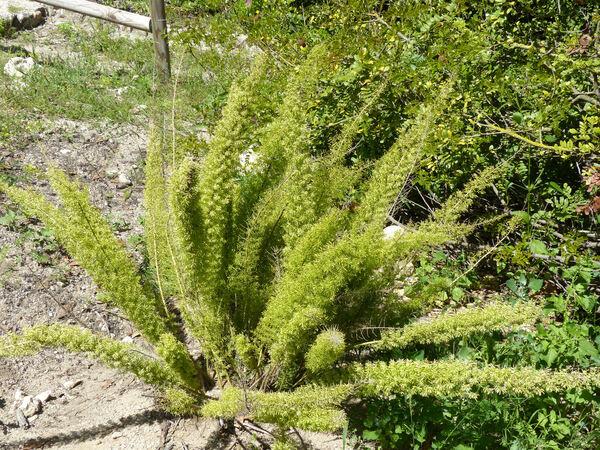 Asparagus aethiopicus L.