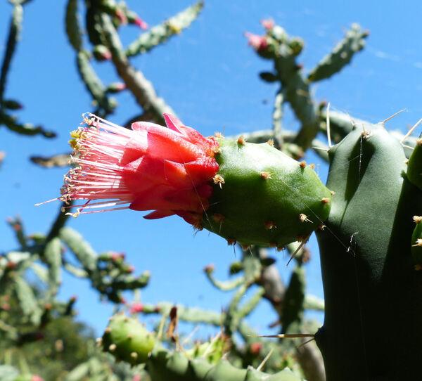 Opuntia dejecta Salm-Dyck