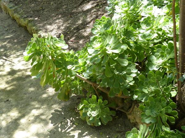 Aeonium ciliatum Webb & Berthel.
